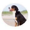 greater swiss mountain dog circle
