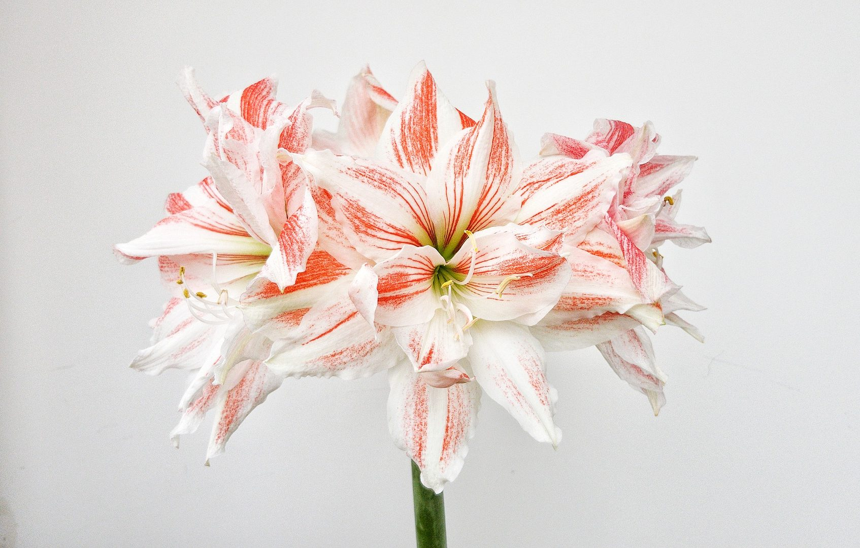 Pink and white hippeastrum flowers blooming in front of a white background