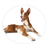 ibizan hound circle