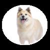 iccelandic sheepdog circle