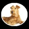 irish terrier circle