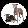 italian greyhound circle