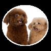 miniature poodle circle