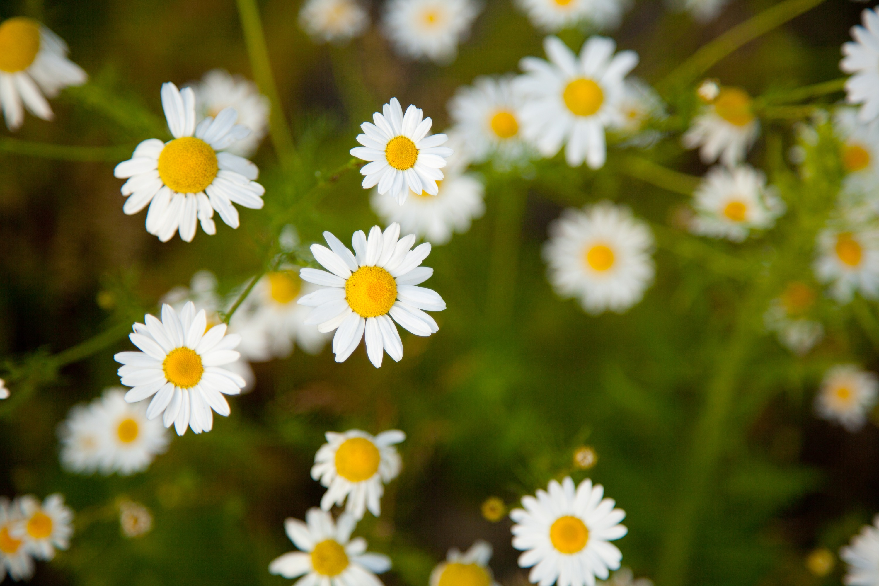 Chamomile flowers growing in a field