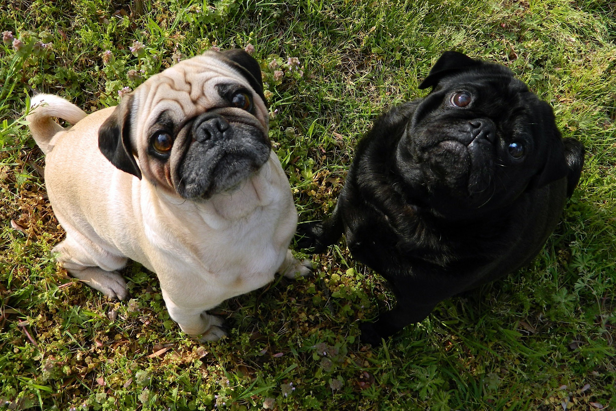 What's your Mutt DNA Black pug and tan pug sitting on grass looking up at camera