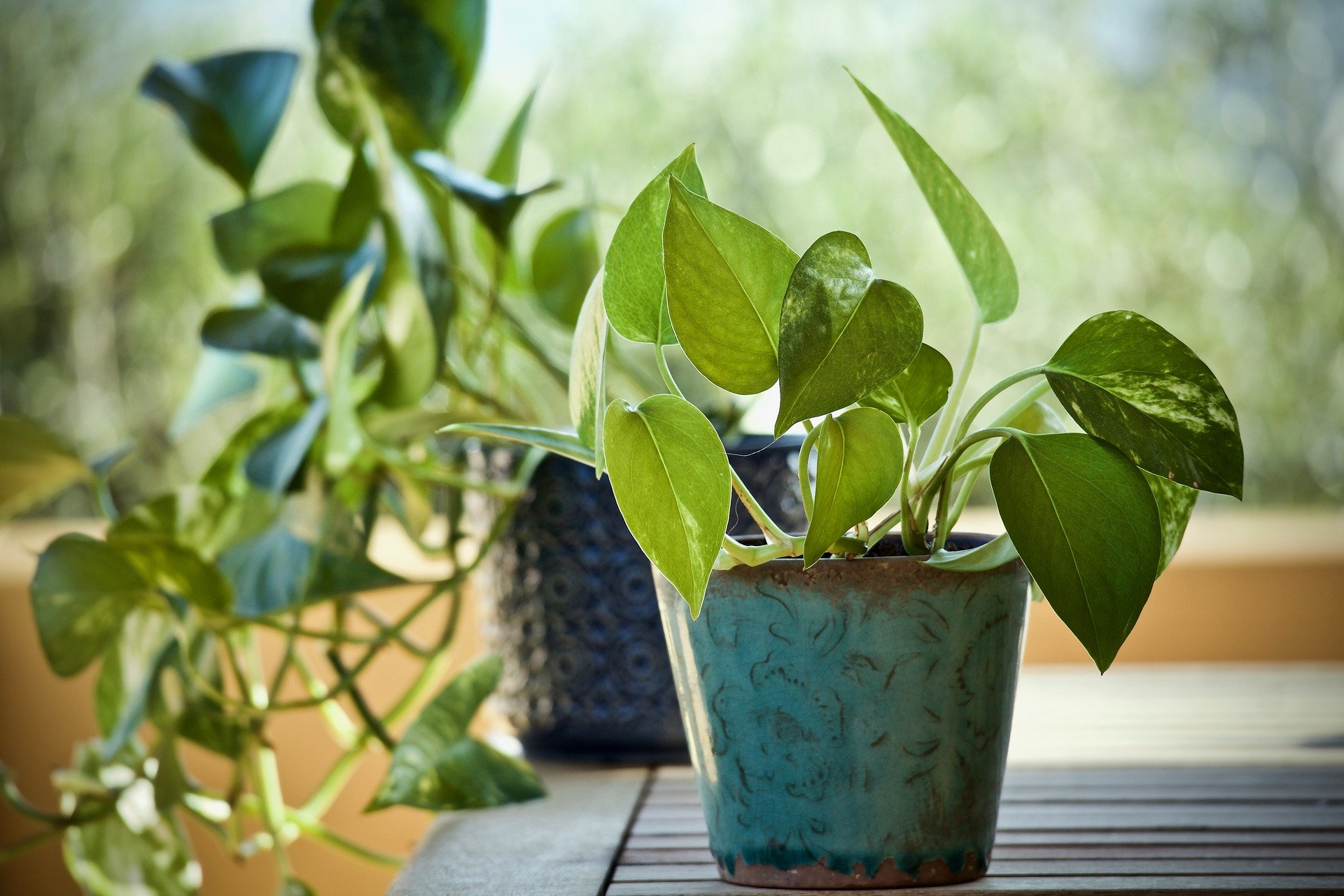 Potted pothos vine growing out of a blue planter on a table in the sun