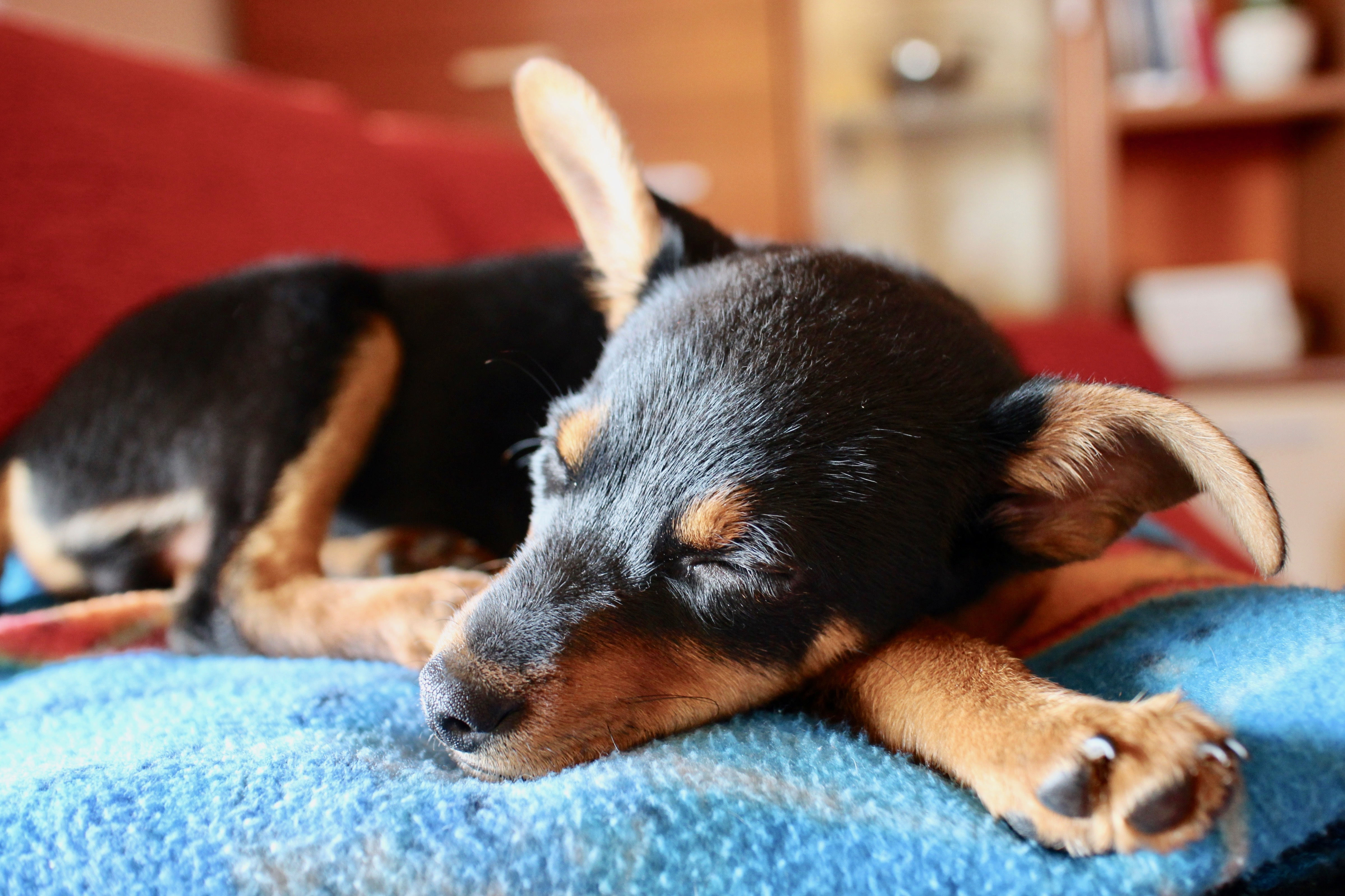 Black and tan mixed breed dog taking a nap on a blue blanket in a house.