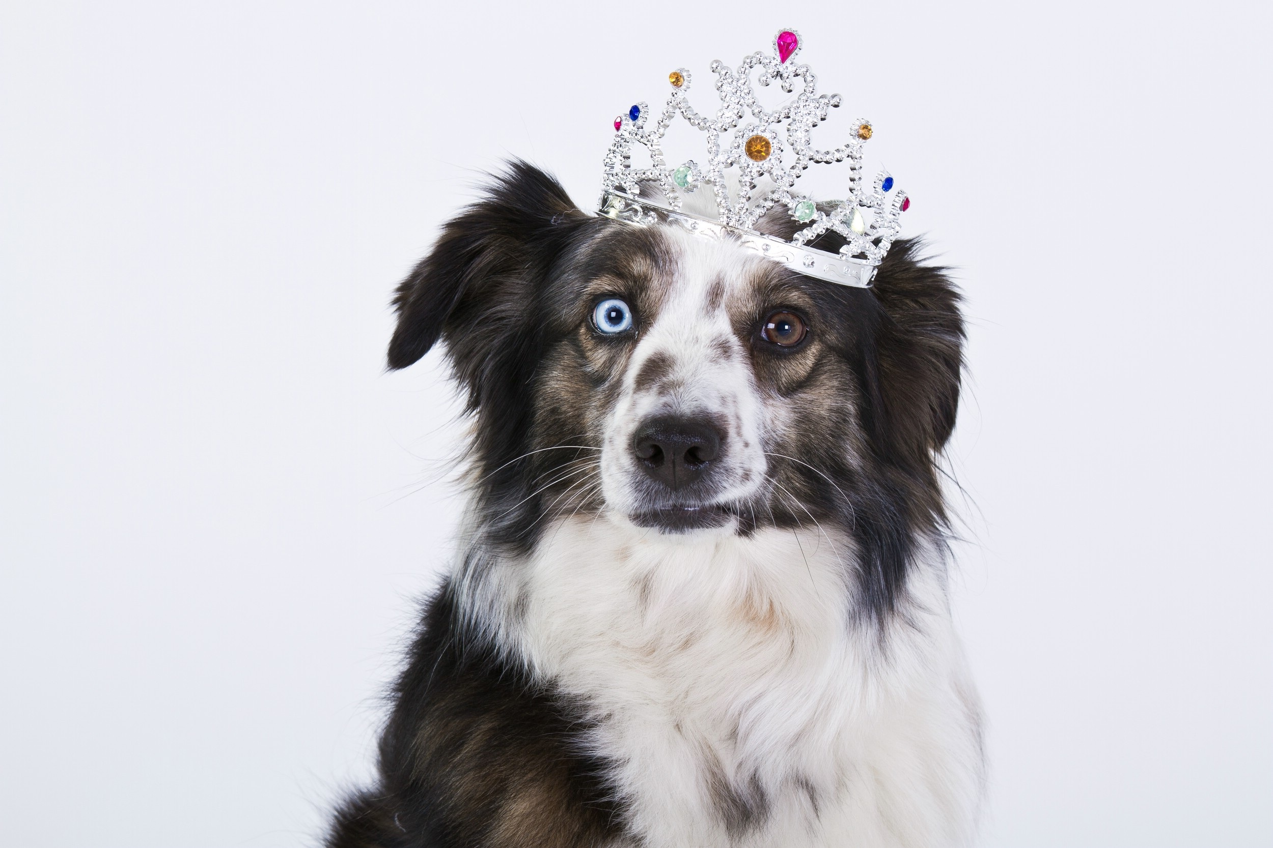 Border collie with blue and brown eye wearing crown in front of white background