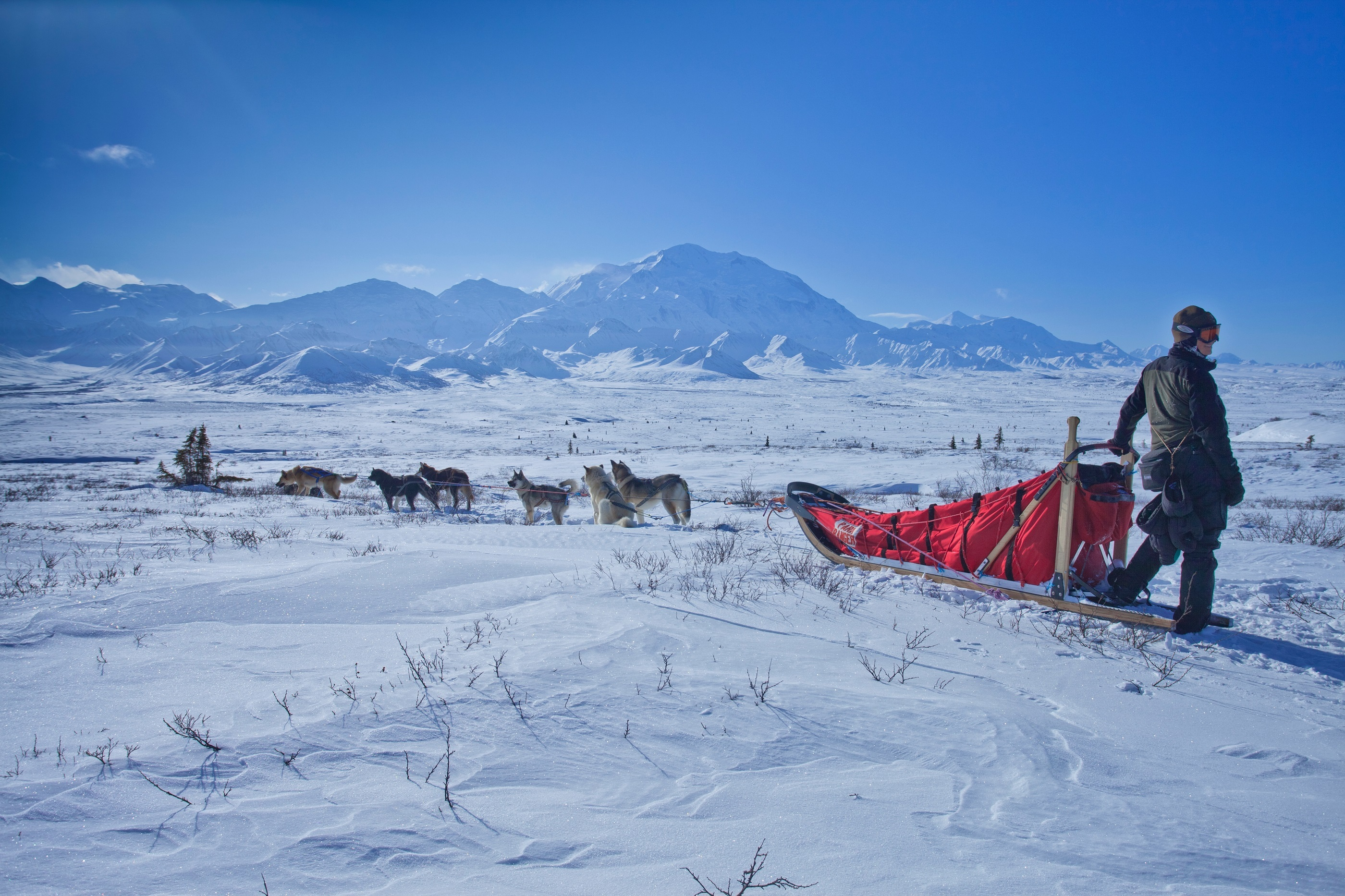 Musher with team of sled dogs in front of mountains of Denali National Park.
