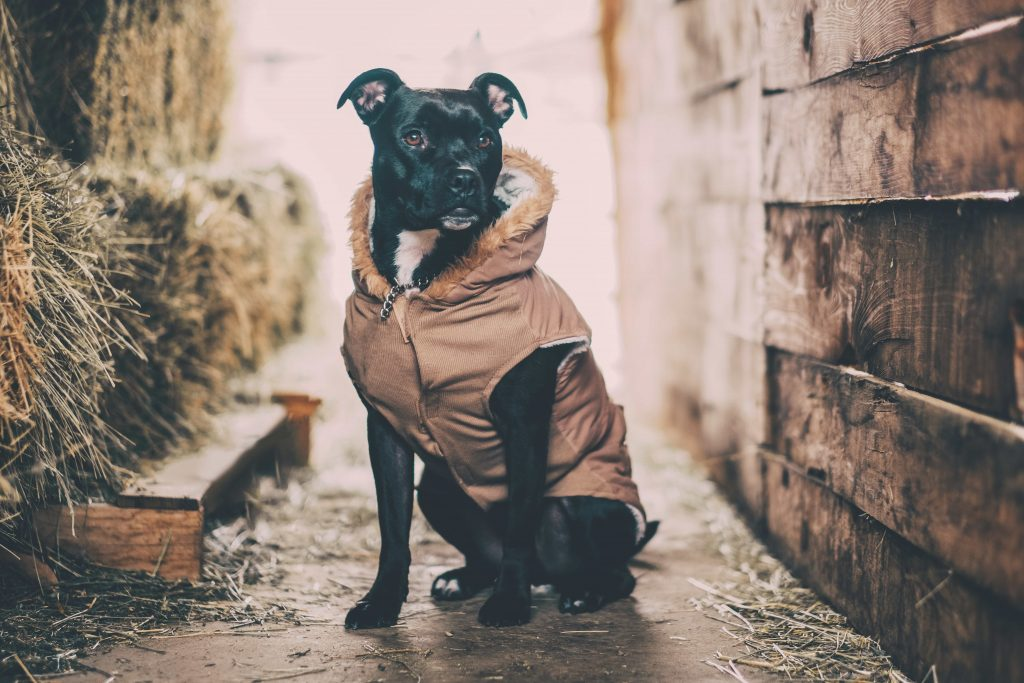 Black and white pit bull dog sitting in street alley wearing a tan fur-lined coat